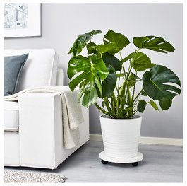 Монстера ( Monstera adansonii ) ( малка )